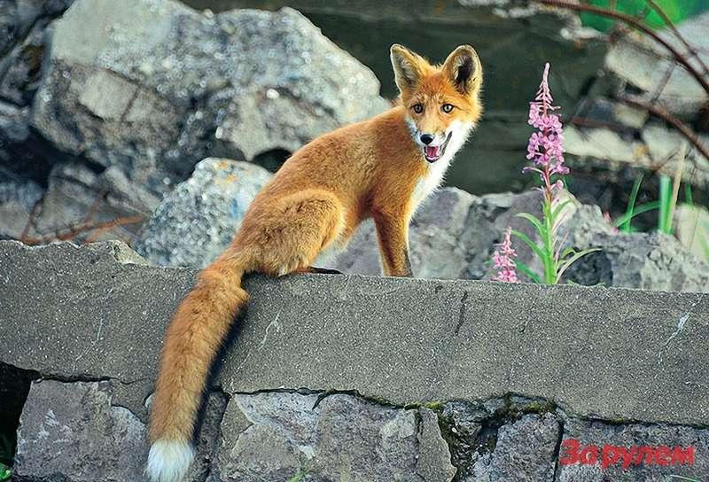 Прикормленные рыбаками итуристами местные лисы здесь почти ручные.