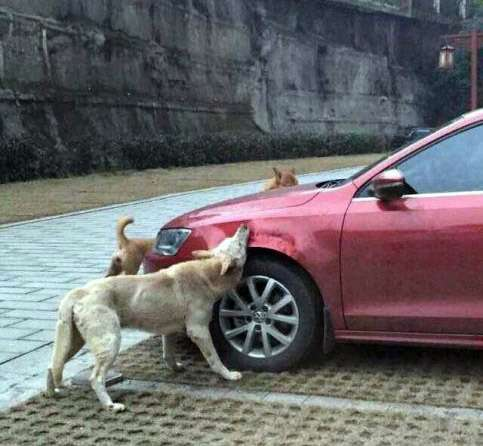 stray-dogs-destroy-a-car-in-china-jetta-gets-bitten-into-submission_2