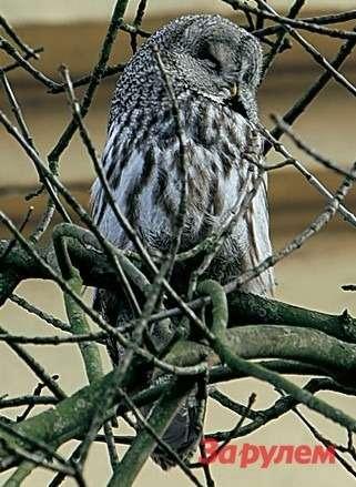 Летающий «радар-детектор» прибыл кнам ввиде совы. Насчет лазеров не знаем, номышку отловит сзакрытыми глазами ивполной темноте.