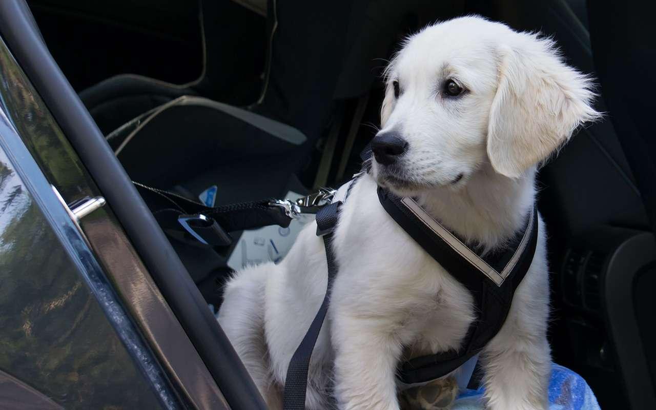 Безопасная перевозка животных вавтомобиле: 10простых правил— фото 978669