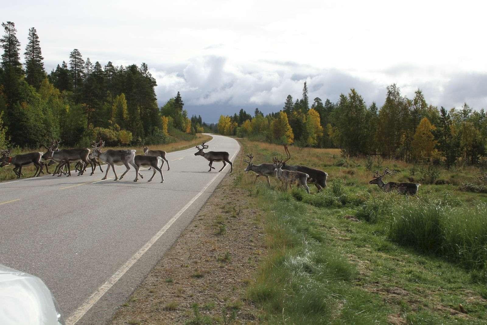 Безоленей, пересекающих дорогу, вФинляндии необойтись 1_result