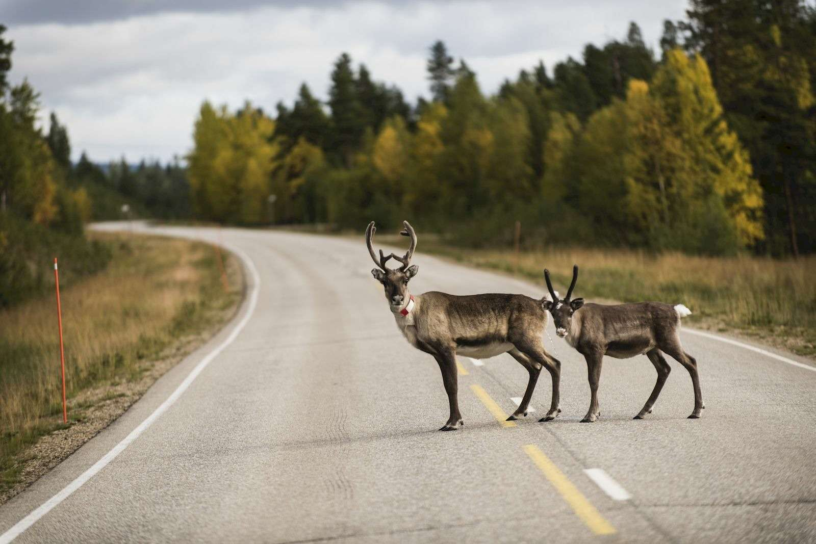Безоленей, пересекающих дорогу, вФинляндии необойтись 2_result