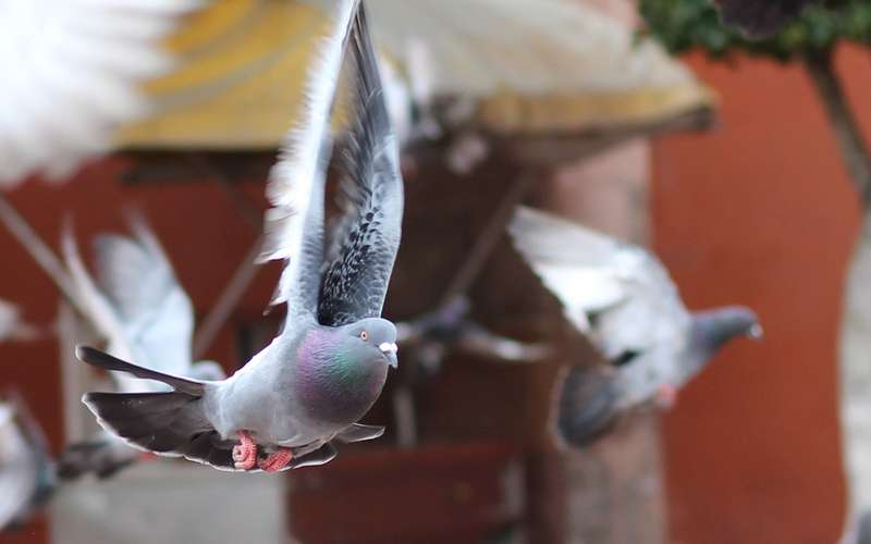Птичку жалко: голубь попался напревышении скорости