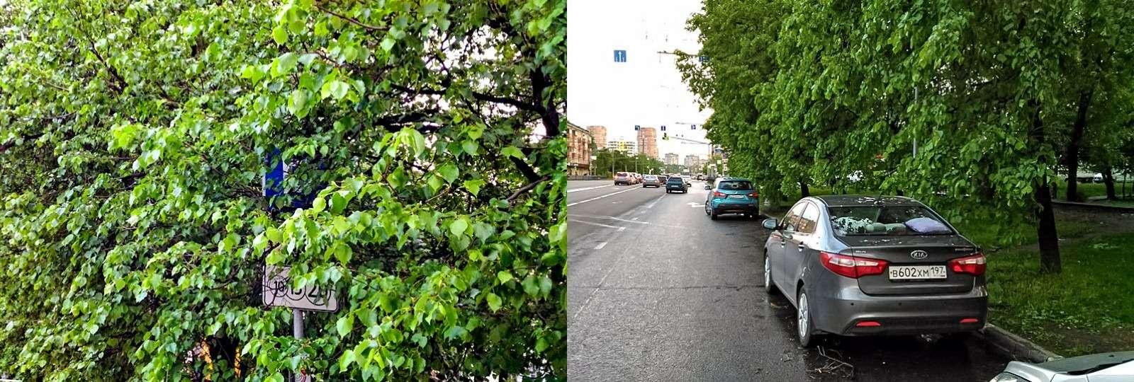 Победить эвакуаторщиков, или Как деревья помогли отбить штраф— фото 776142