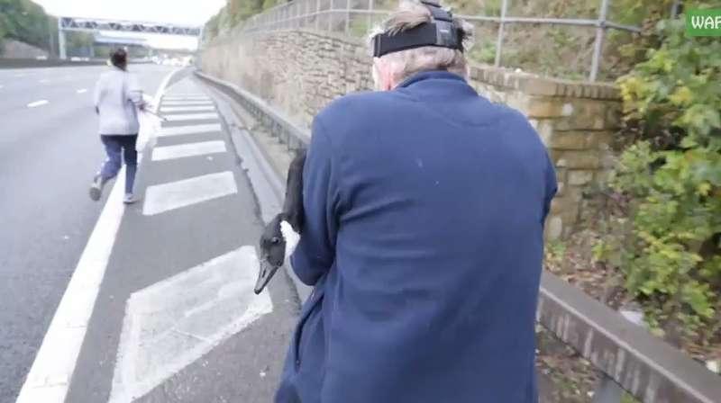 Гусь остановил движение наскоростном шоссе (видео)