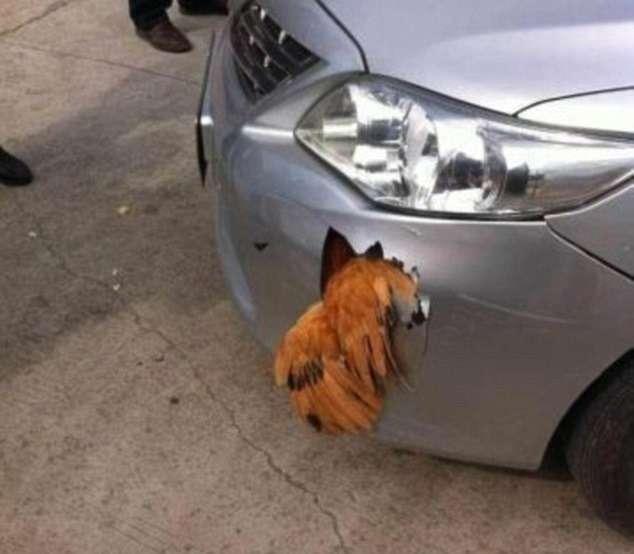 В Китае петух протаранил автомобиль иостался жив