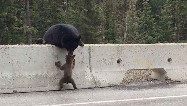Медведица спасла медвежонка отвыхода нашоссе