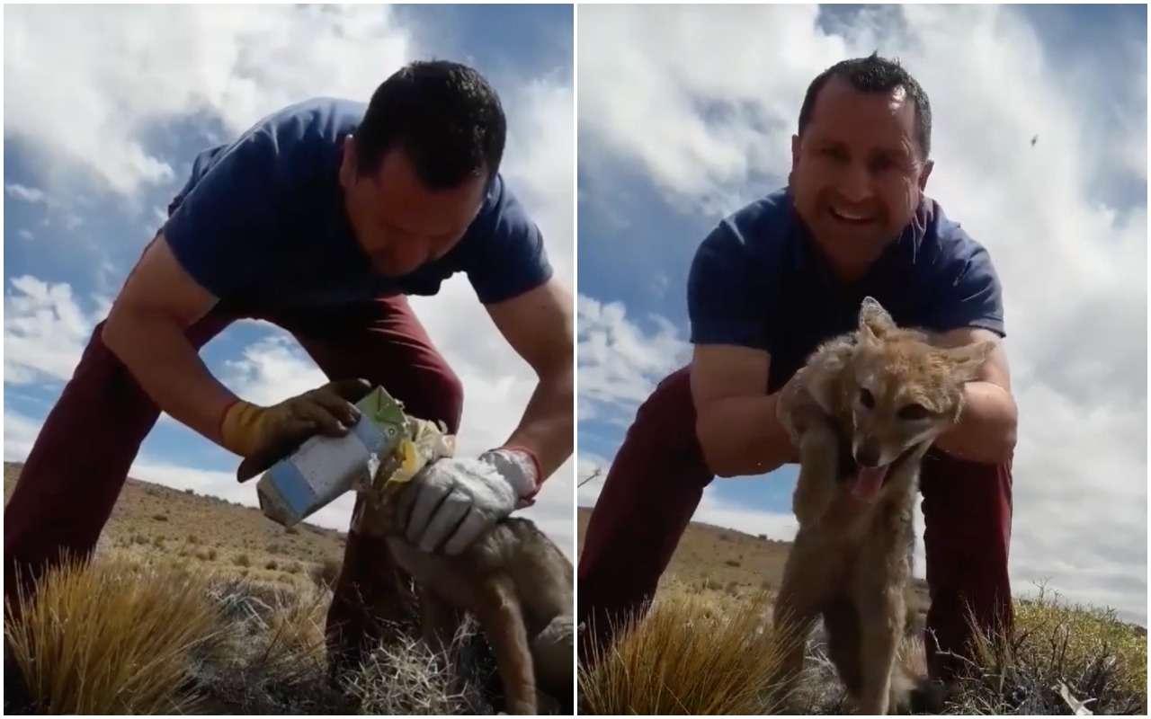 Водитель грузовика спас дикого лиса отмолочного пакета
