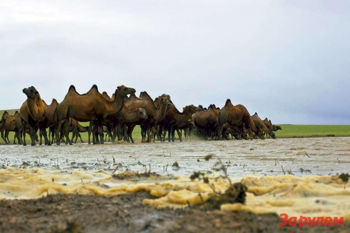 Только говорят, что верблюды не пью месяцами. Еще как пьют!
