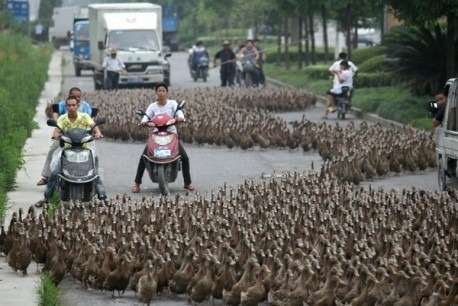 ducks-road-china-1-458x306