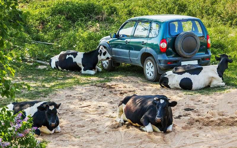 «Выхлопы» от коров - как от машин. Гринпис в шоке