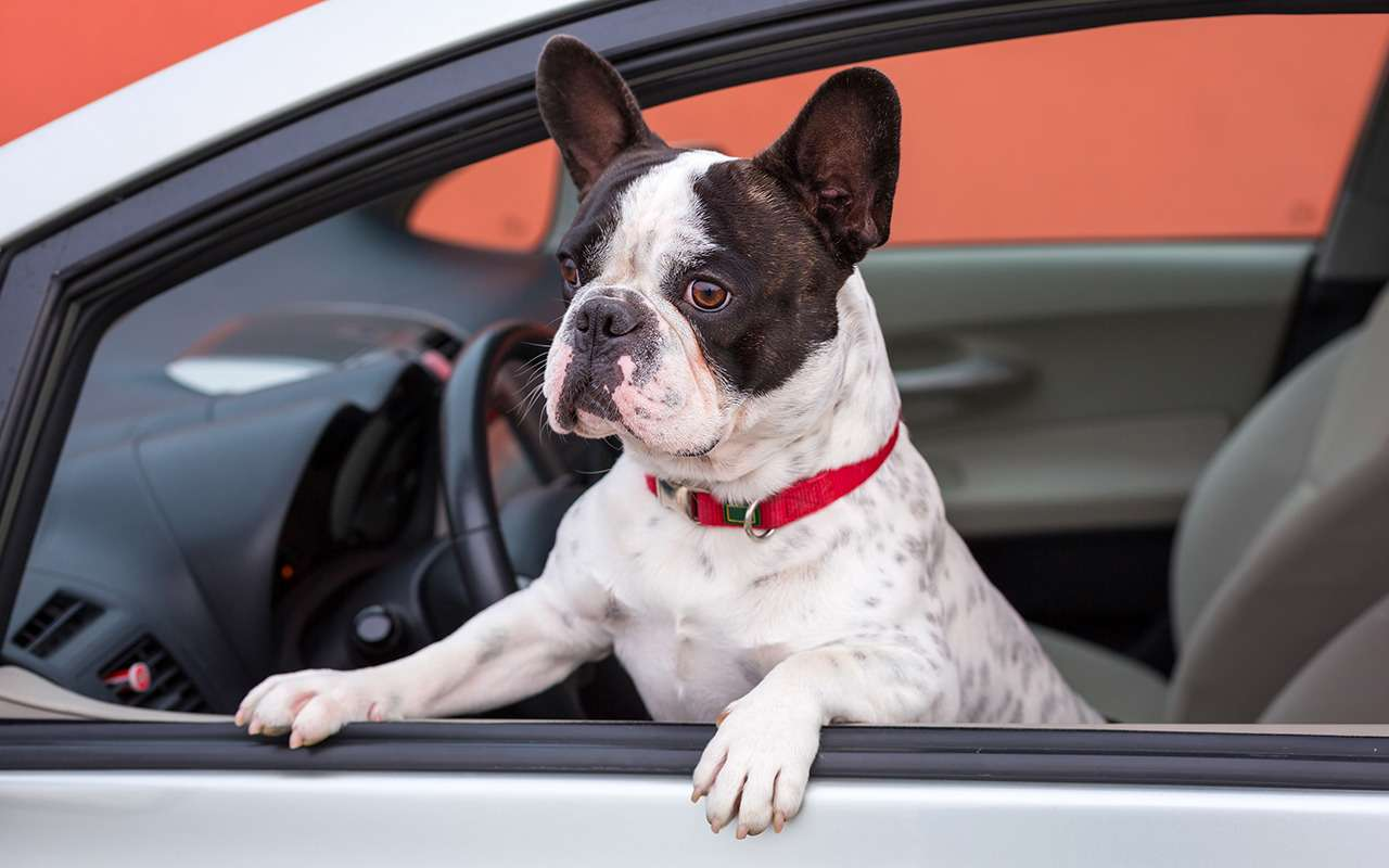 Безопасная перевозка животных вавтомобиле: 10простых правил— фото 978667