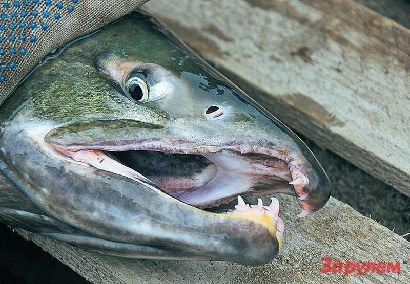 Вотон, лосось, идущий нанерест. Много мертвой рыбы поберегам, характерный запах. Умирая, сохраняй жизнь другим: всё это корм длябудущих мальков.