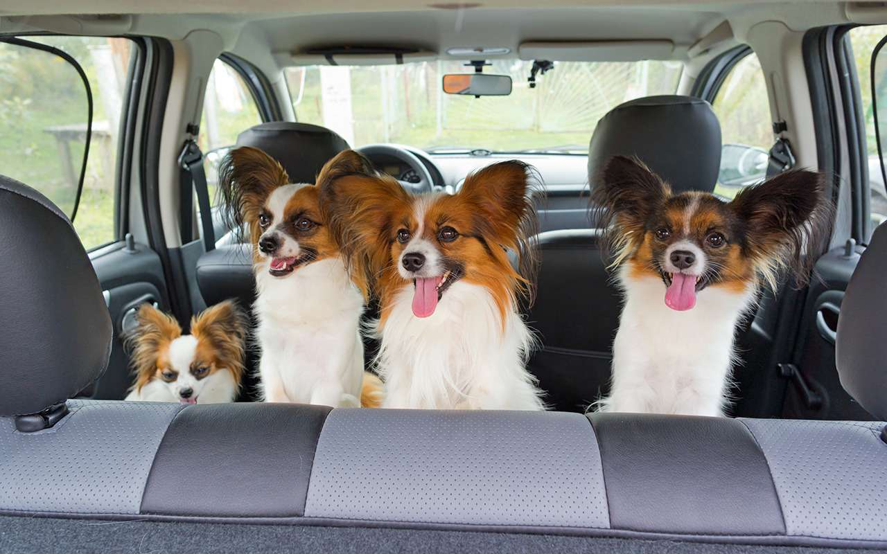 Безопасная перевозка животных вавтомобиле: 10простых правил— фото 978665
