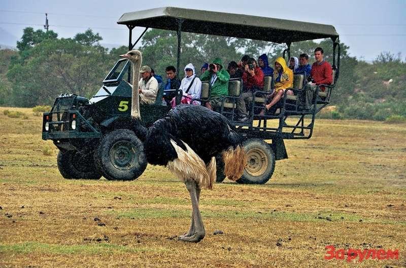 Воттак едешь себе подороге, арядом мирно прогуливаются буйволы, страусы, носороги, львы, жирафы ипрочие африканские жители.